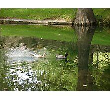 Cypress Creek Ducks Photographic Print