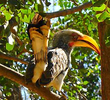 Southern Yellow-Billed Hornbill by Andrew Van Der Walt