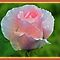 5 in 'Pink Roses - Members Only' challenge of group 'Elegant Rose Cards …'