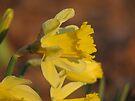 Daffodil Sun by NatureGreeting Cards ©ccwri