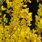 Forsythia - Pollen Time by Paul Gitto