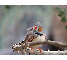 Zebra Finch Photographic Print