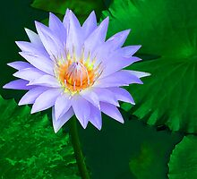 Water Lily by Mark Wilson