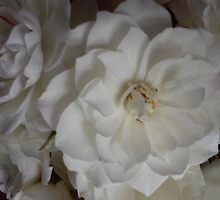 Bouquet of white roses on black background by soniamattson