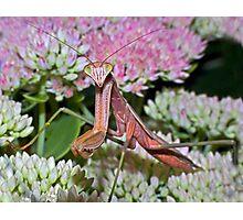 Mantis Covergirl ! Photographic Print