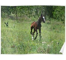 Trotting foal  Poster