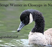 Canada Goose Challenge Winner Banner Closeups in Nature by hummingbirds