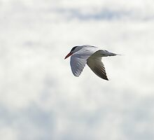 Caspian Tern by Biggzie