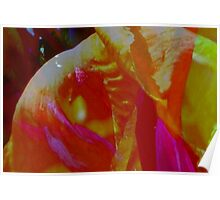 Canna lily sherbet Poster