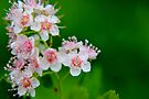 Pink Meadowsweet by Kathleen Daley