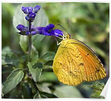 Orange-Barred Sulphur Butterfly Poster