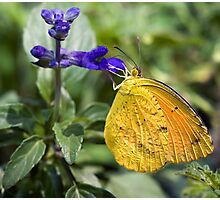 Orange-Barred Sulphur Butterfly Photographic Print