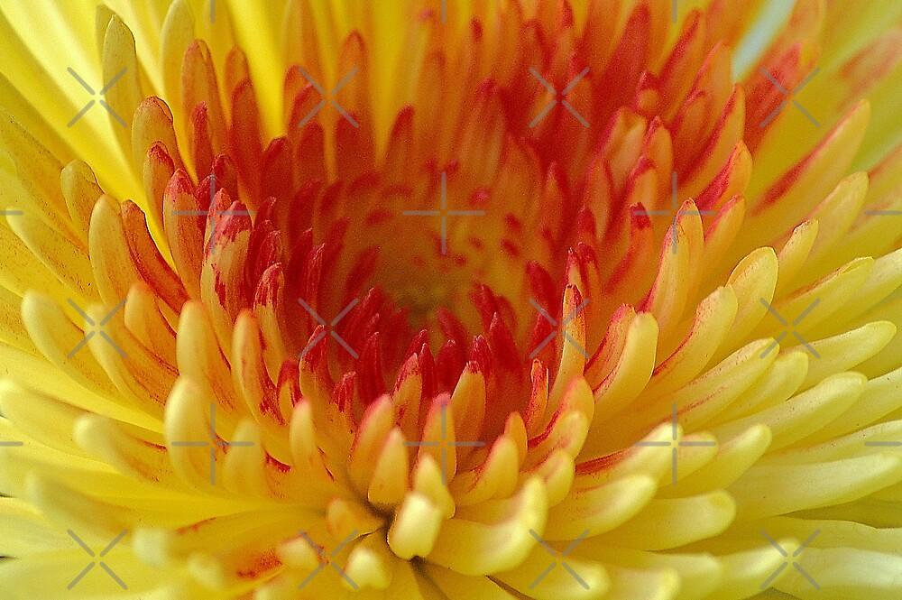Chrysanthemum with orange heart by loiteke