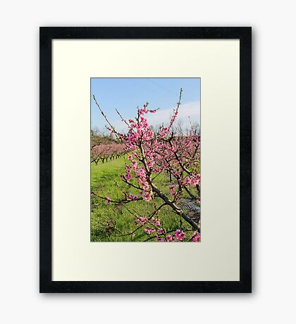 plant of peach Framed Print