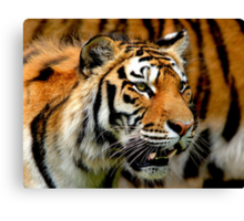 Only Tiger Canvas Print