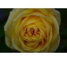 Dewey Rose Photographic Print
