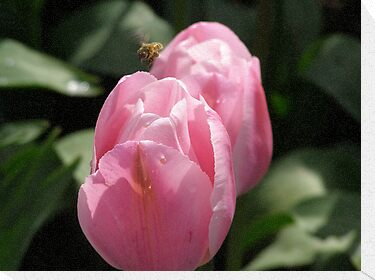 BEAUTIFUL PINK TULIPS WITH A BEE by MsLiz