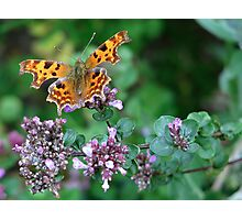 Yet another Comma Photographic Print