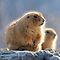 Prairie Dogs, Pikas & Marmots, Oh My!