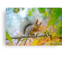 Red euroasian squirrel washes on the maple branch Canvas Print