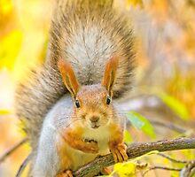Red euroasian squirrel on the maple branch by Oksana Ariskina