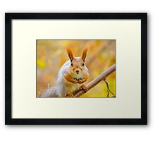 Red euroasian squirrel on the maple branch Framed Print