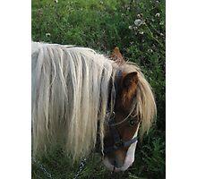 Shetland Pony Photographic Print