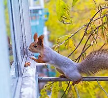 the squirrel looks for to eat on a balcony by Oksana Ariskina