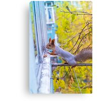 the squirrel looks for to eat on a balcony Canvas Print