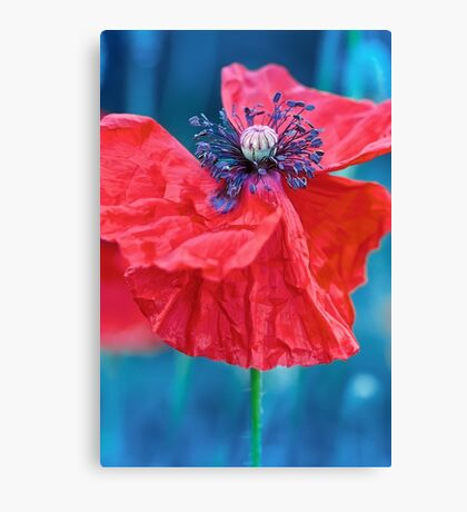 a Red poppy flower with blue background Canvas Print