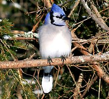 Blue Jay by HALIFAXPHOTO