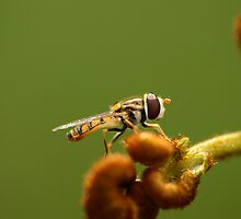 Bee mimic hoverfly  by Michael Fotheringham Portraits