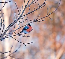 Bullfinch bird sitting on a branch  by Oksana Ariskina