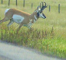 Antelope Buck by tuffcookie