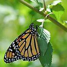 Monarch by Donna Adamski