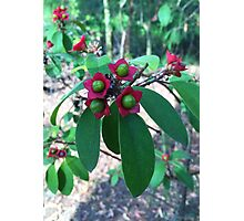 Clerodendrum, Glenbrook NSW Australia Photographic Print