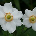 Japanese anemone by Michael Matthews