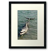 Monkey Mia Dolphin Framed Print