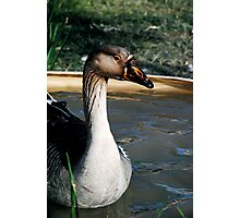 Like a Goose to Water Photographic Print