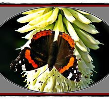 RED Admiral Butterfly. by Malcolm Chant