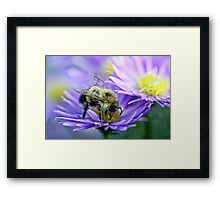 Bumble Bee - Fall Aster Framed Print
