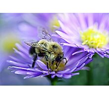 Bumble Bee - Fall Aster Photographic Print