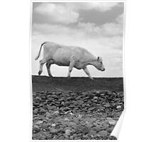 single cow feeding on the lush grass Poster