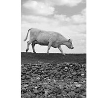 single cow feeding on the lush grass Photographic Print