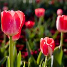 Pink tulips by AquaMarina