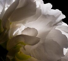 White Tree Peony by Dorothy DuMond Cohen