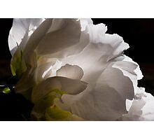 White Tree Peony Photographic Print