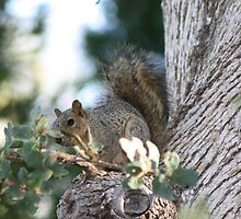 Western Grey Squirrel by Laurie Puglia