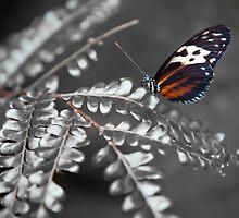 Butterfly 8969 by Zohar Lindenbaum