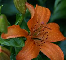 Miss Orange Lilly by MsLiz